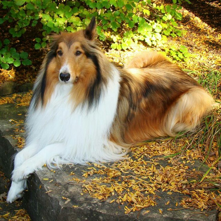 Pin By Betty Junus On Drug Cheloveka Rough Collie Dogs Dog Cat