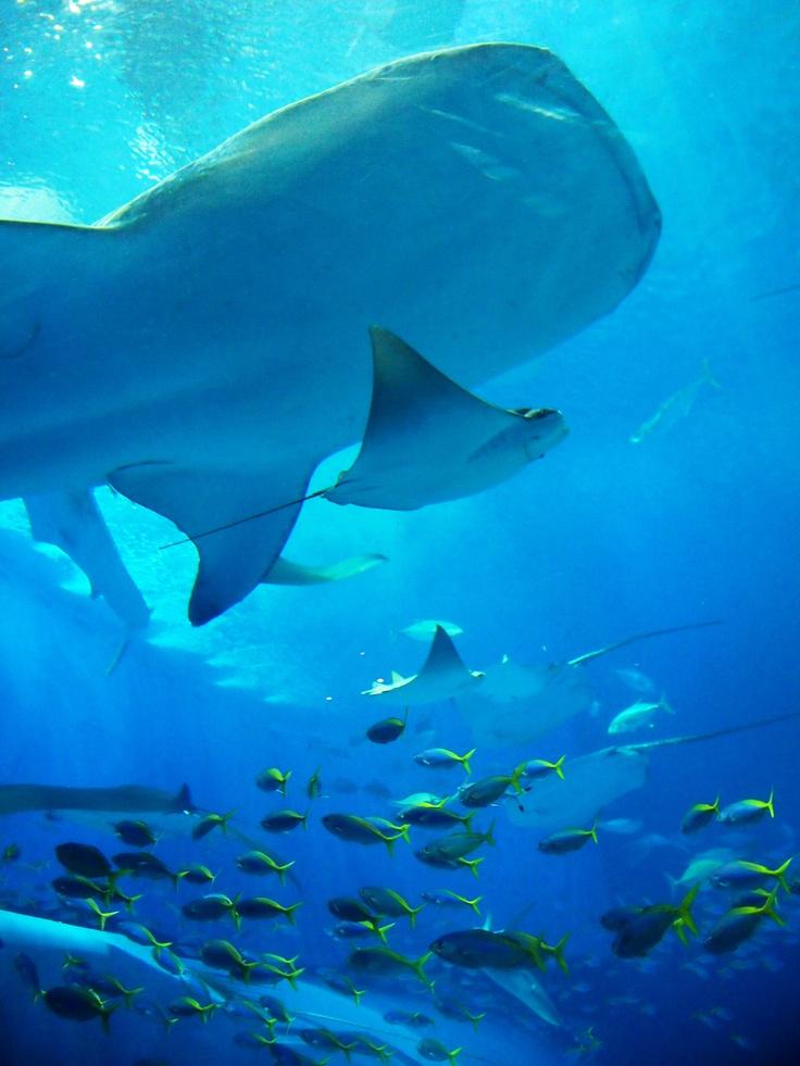 Okinawa Churaumi Aquarium Japan Been Here When I Was In