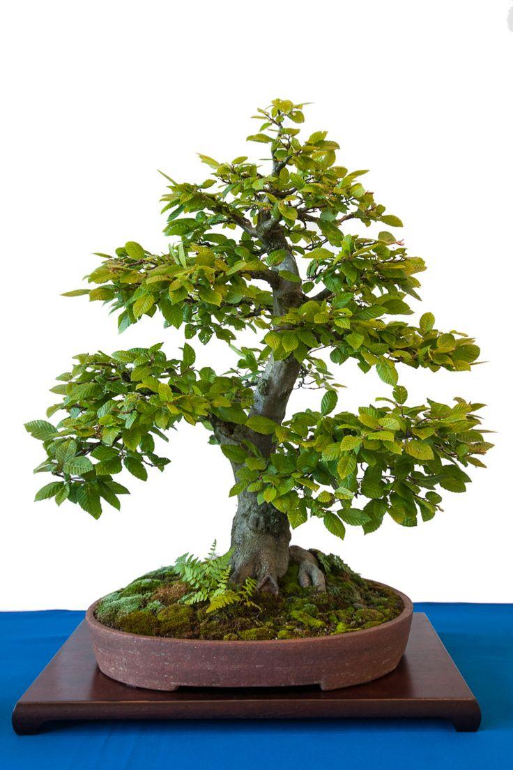 hainbuche als bonsai baum mit farn und moos beech bonsai inspiration rboles bonsay. Black Bedroom Furniture Sets. Home Design Ideas