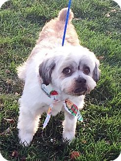 Oswego, IL - Cavalier King Charles Spaniel/Bichon Frise Mix. Meet Buster, a puppy for adoption. http://www.adoptapet.com/pet/14542676-oswego-illinois-cavalier-king-charles-spaniel-mix