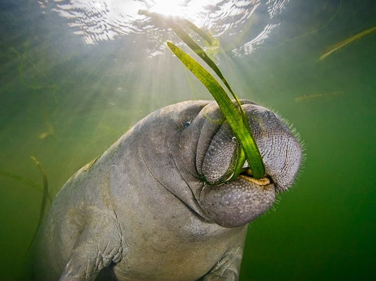 Picture of Florida manatee feeding on seagrass