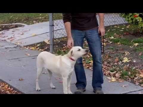 ▶ Dog Whisperer about E-collar - YouTube NON SHOCK TRAINING :)