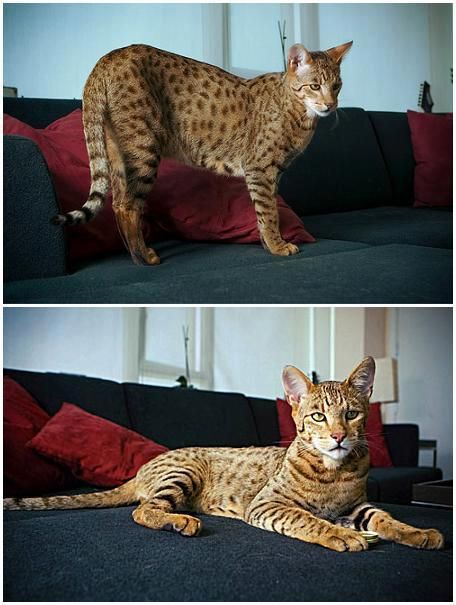 """The Most Expensive Cat In The World     Meet the $22,000 designer cat that has become the latest exotic pet for fashionable homeowners in America. The specially-bred Ashera is the largest, rarest and most exotic house cat in the world.     The pricey puss is a result of breeding the African Surval and the Asian Leopard cat with a domestic cat. Bred by Los Angeles-based Lifestyle Pets, the company claims the Ashera """"is a new ultra-exotic breed of domestic cat."""