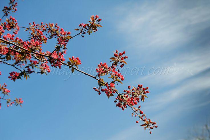 flori de primavara, magenta spring flowers