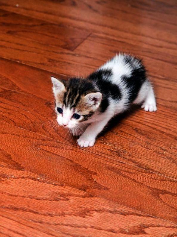Super Cute Kitten Memes Cute Cartoon Animals Wallpaper Iphone Unlike Cute Kitten I Love You Memes Plus Cute Pictures Of Animal Manx Cat Manx Kittens Pets Cats
