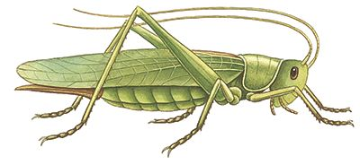 grasshopper pictures and names - Google Search