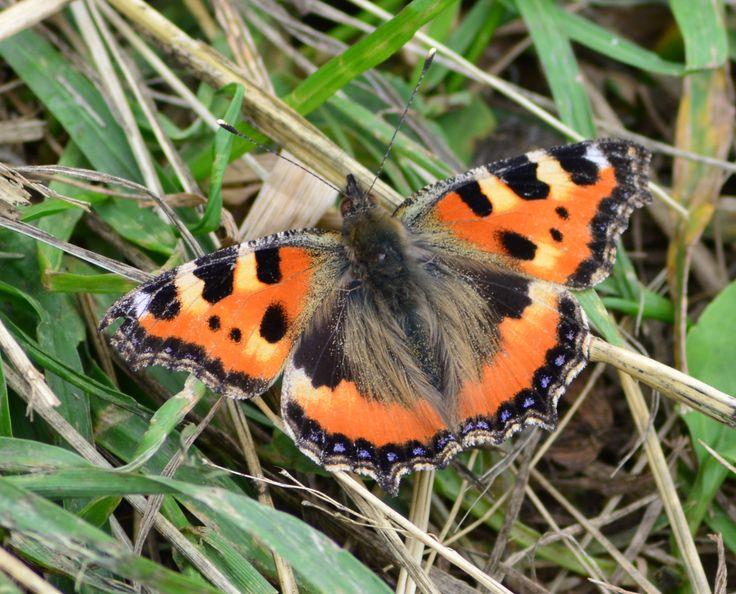 Slovak Butterfly.