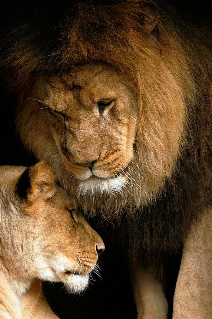 Imagen de http://www.stephenoachs.com/photos/slideshow/ss-lion-love.jpg.