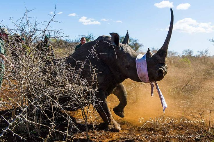 Rhino Capture by Conservation Photographer Peter Chadwick