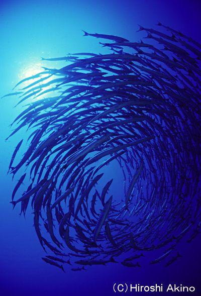 こんなバラクーダの群が見られるダイビングスポットも。パラオ旅行の観光スポットまとめ。
