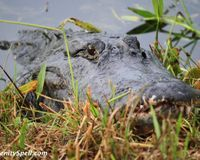 Prevent Alligator Hunting in the Loxahatchee Wildlife Refuge - The Petition Site