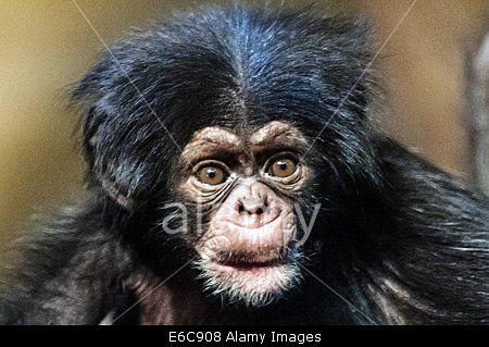 Edinburgh, Scotland, UK. 20th Aug, 2014. #EdinburghZoo introduce Velu an 8 week old baby #chimpanzee the first to be successfully reared in Scotland in 15 years. © Steven Scott Taylor/Alamy Live News #cute