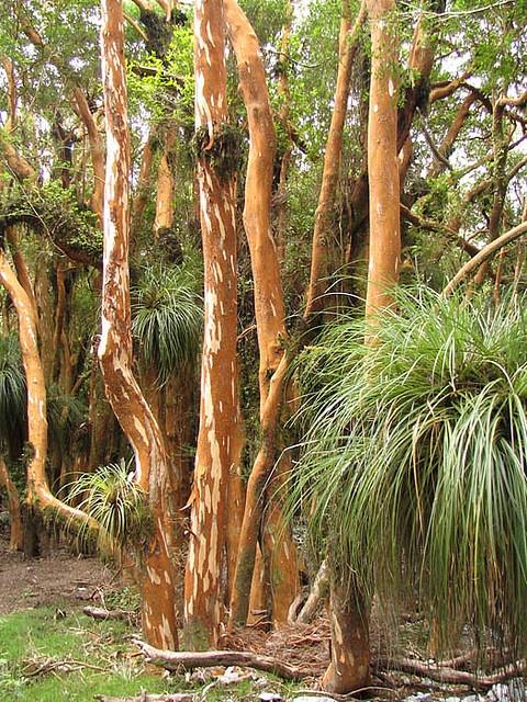 Arrayán  luma apiculata