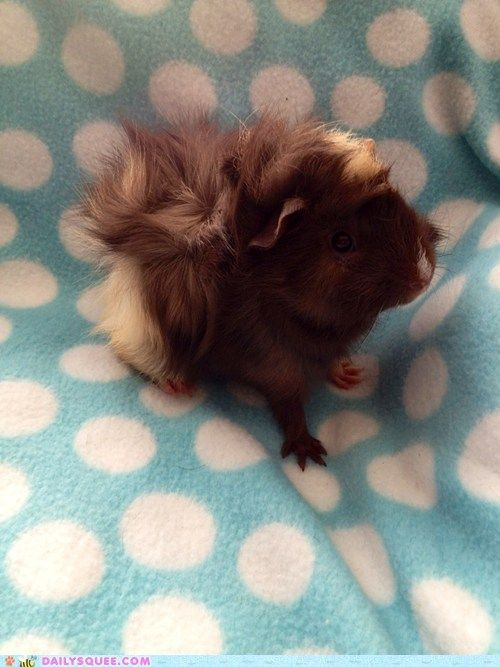 Abyssinian guinea pig my FAVOURITE breed!!