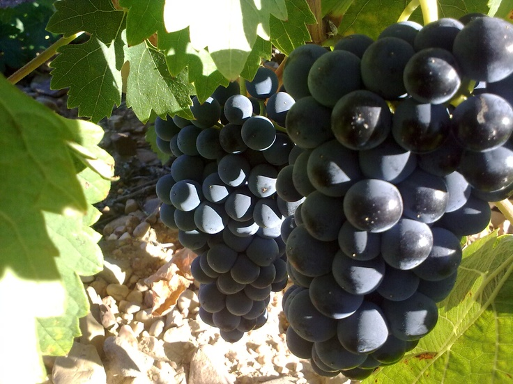 In September, grapes have a real good colour. We just harvest soon!
