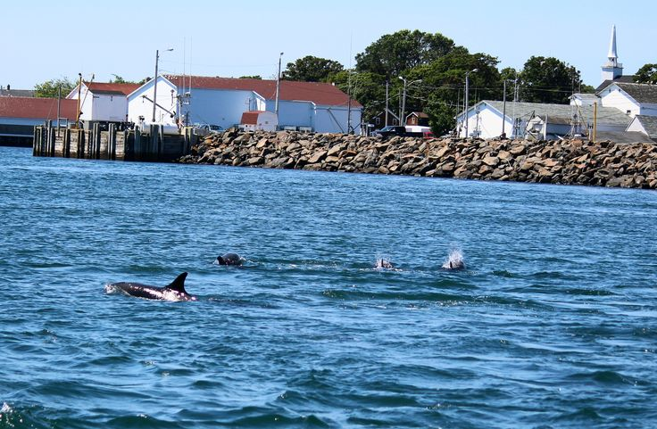 Dolphins in the harbour at Westport, Brier Island.