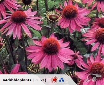 A robust rose coloured perennial border plant  Loves full sun and flowers all summer.