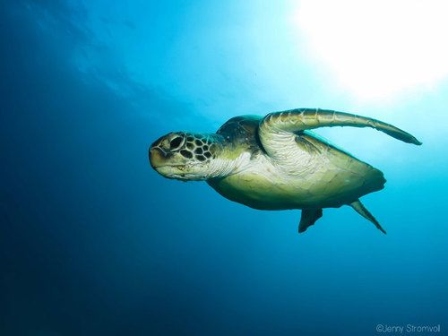 Green turtle in Ponta do Ouro Mozambique.