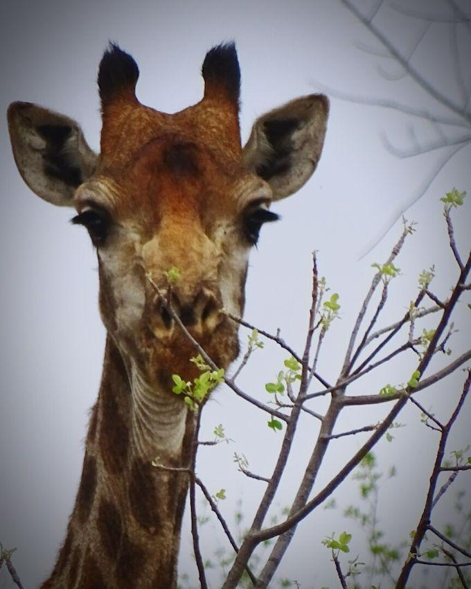 Giraffe Giraffe South Africa