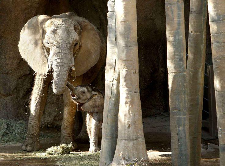 A Dallas, un autre bébé éléphant mais celui-ci est déjà âgé de 5 mois. Il se nomme Ajabu.