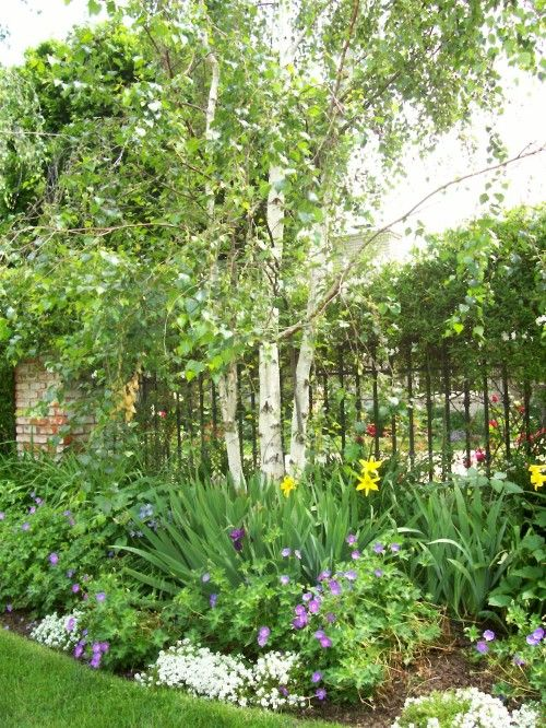 SW corner of front yard...BIRCH TREES!