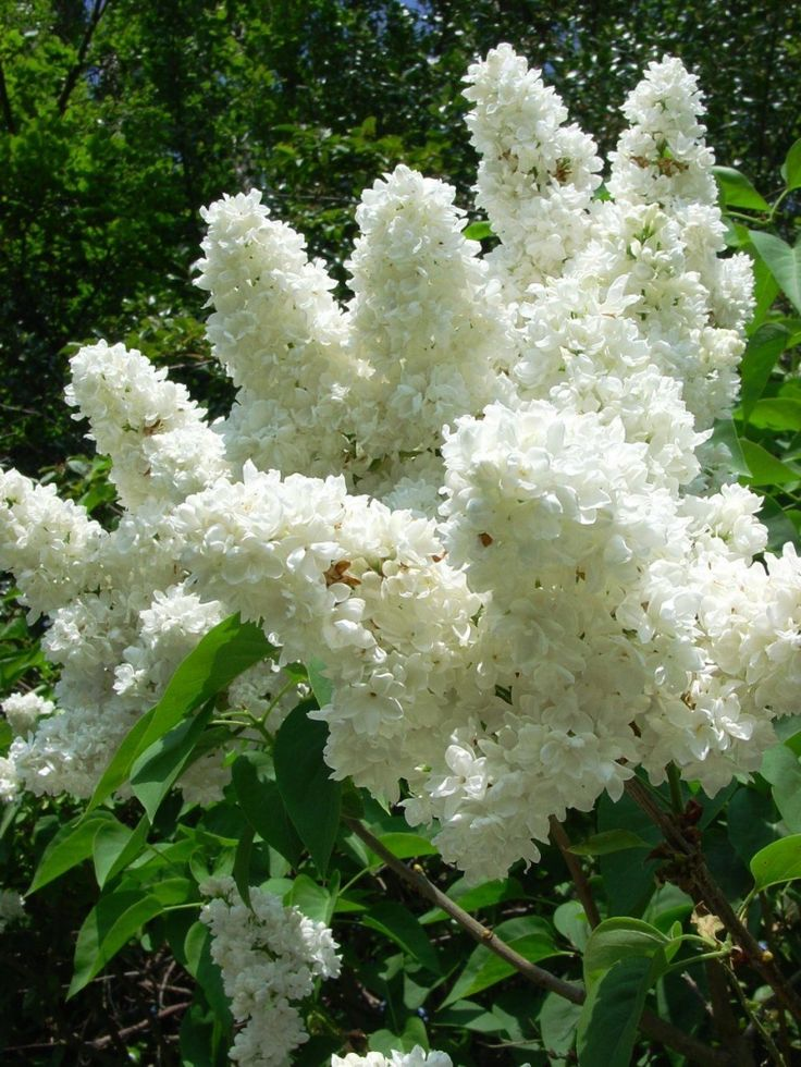 The Most Exquisite Gardens and Landscaping Ever! - laurel home   These are while lilacs and they smell wonderful!