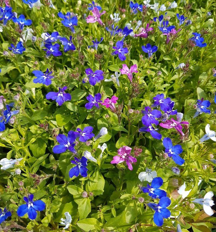 Mysigt med alla sommarblommor... alla vackra på sitt sätt. #lillahults #hosossblirnärodlatstort #sommar2017