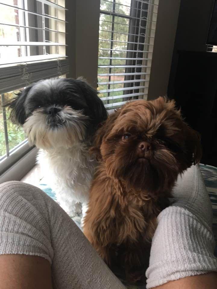 Double Trouble From Glory Ridge Shih Tzu Shih Tzu Shitzu Dogs
