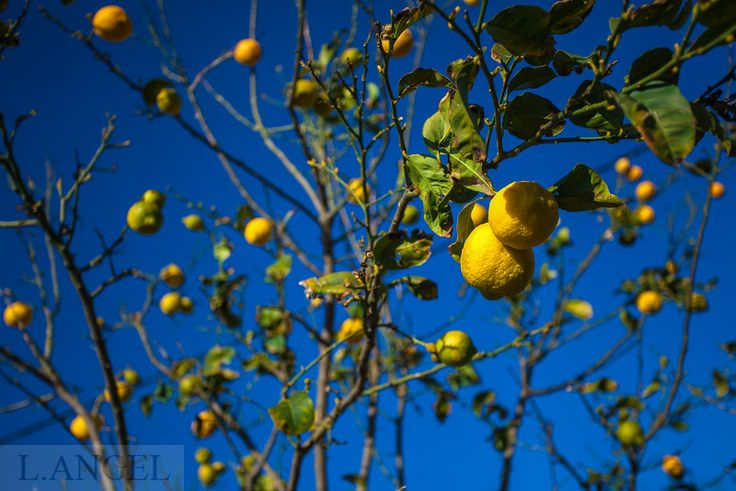 lemon; lemon tree; tree; plant; blue sky; fruit