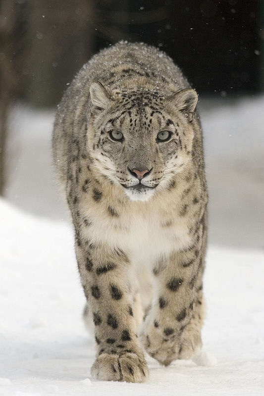Snow Leopard, Uncia uncia. Most active at dawn and dusk, snow leopards are opportunistic predators capable of killing prey up to three times their own weight. Image by Bernard Landgraf via Wikimedia Commons (cc-by-sa)