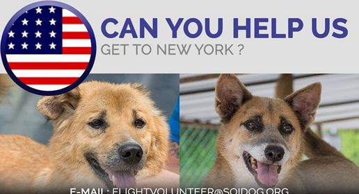 Find out if you can be a FLIGHT VOLUNTEER! If you are traveling FROM Thailand TO the USA, on BOOKED tickets with Thai Airways, All Nippon Airways (ANA), China Airlines, Qatar, Korean Air, JAL, EVA, Lufthansa or KLM, please EMAIL flightvolunteer@soidog.org for more information. http://www.soidog.org/en/be-a-flight-volunteer