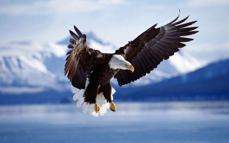 ... bald-eagle-wallpapers ...