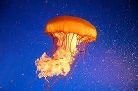 Resultado de imagen para medusa marina