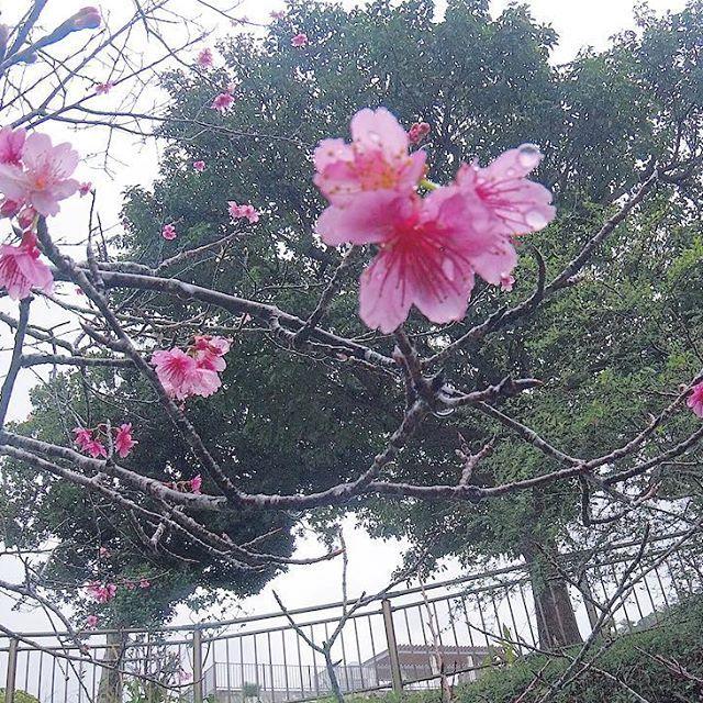 【soe46】さんのInstagramをピンしています。 《昨日、少しだけど桜も咲いてた🌸 沖縄のサクラはこの時期〜2月に咲いて、梅みたいに色が鮮やか!🐥 3月に埼玉に一回帰るし、あっちの桜も見られるだろうし〜この時期から3月まで桜見られたらこんな贅沢ないよね〜🤤 #沖縄#沖縄移住#沖縄生活#那覇#休日#昨日#動物園#沖縄こどもの国#動物好き#桜#ピンク#雨露#ゴープロ#ゴープロのある生活#ゴープロ女子#okinawa#okinawajapan#okinawalife#naha#holiday#memory#zoo#animal#flower#cherryblossom#rainy#cameragirl#goprolife#goprohero5#gopro》