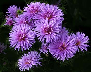 "Aster is the flower of September which represents love, faith, wisdom, and valor. In the secret language of flowers it means ""take care of yourself for me."""