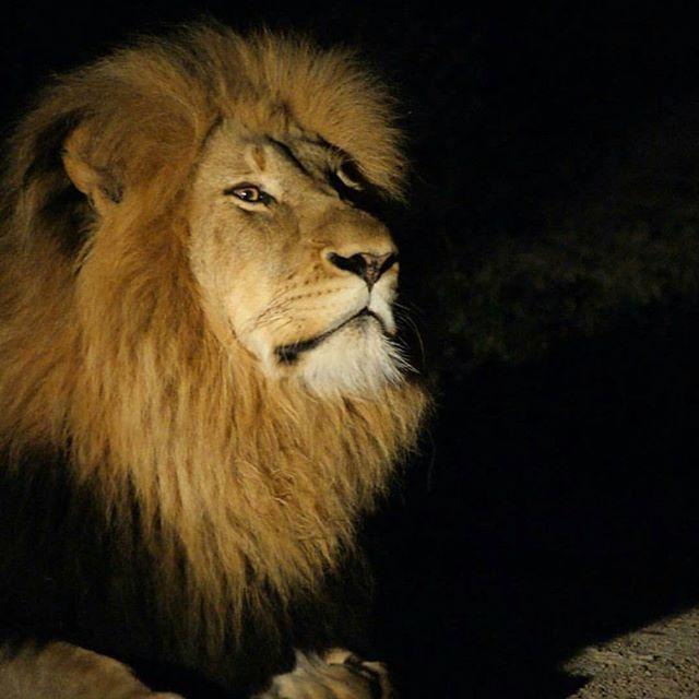 Beautiful portrait captured by wildlife conservation volunteer @domanii   #gvi #southafrica #lion