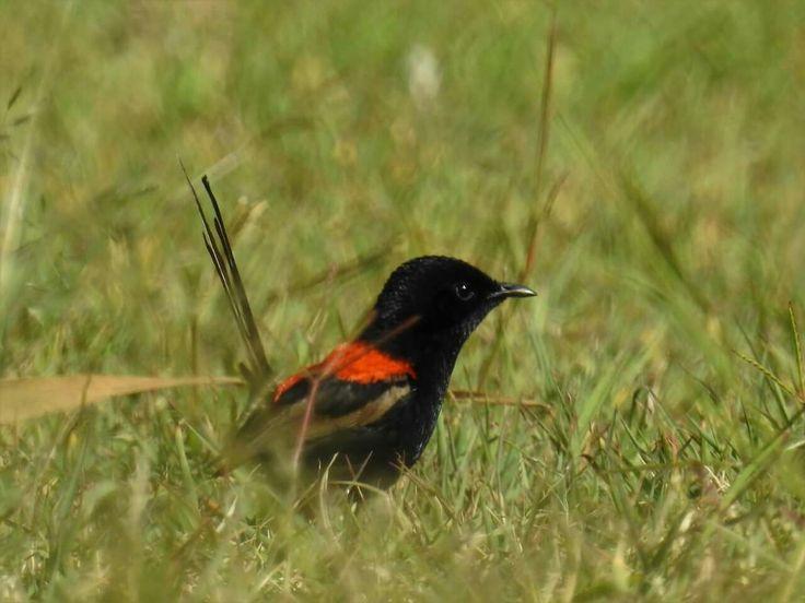 Red-backed Fairywren male