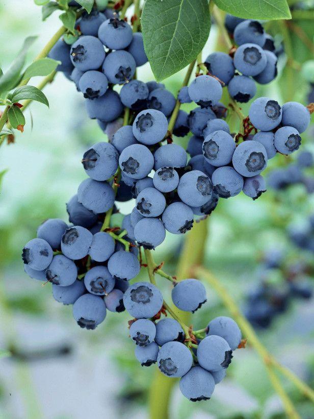 Cinco passos para crescer blueberries