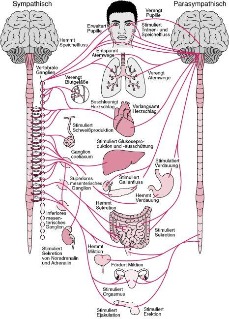 Übersicht über das autonome Nervensystem – Neurologische Krankheiten – MSD Man… kirsten