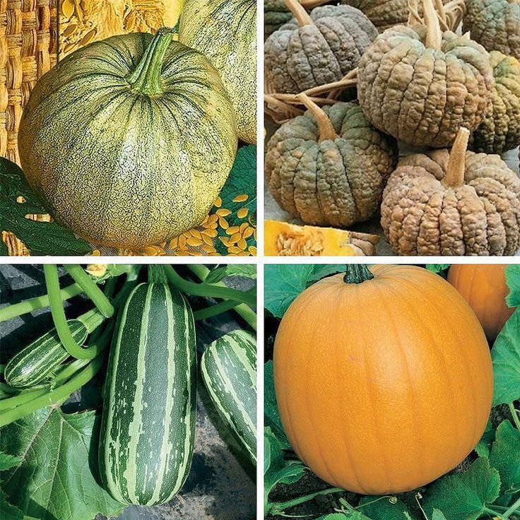 Vilken slags pumpa är er favorit? Har ni odlat någon i år kanske?   #pumpa #squash #halloween #wexthuset #hemodlat #odling #pumpkin #cucurbita #cucurbitapepo #oktober #odlingstips #frö
