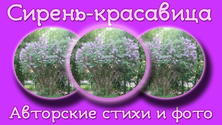 Сирень красавица В память о маме Авторский стих, фото