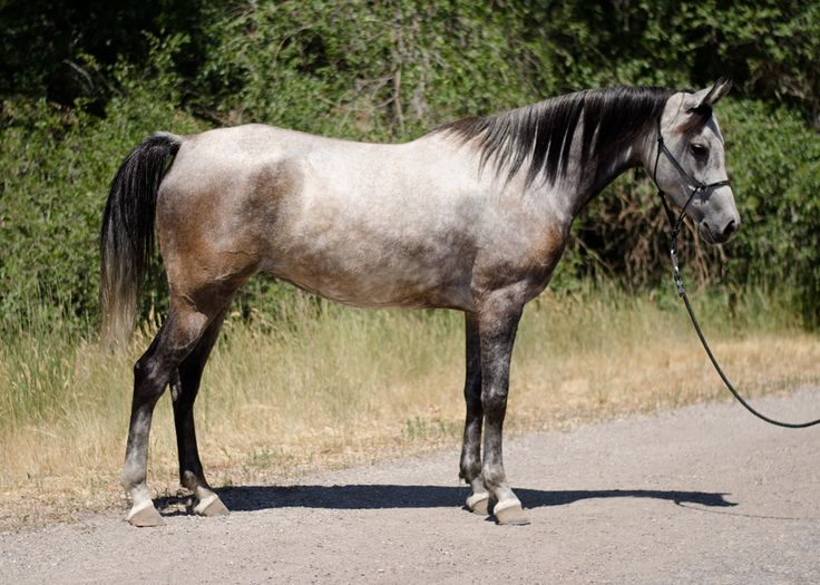 Noble Rhapsody | Arabian Endurance Horse For Sale - Sage Hill Arabians