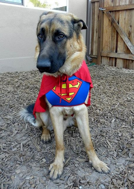 German Shepherd Superman...So getting Rexi one of these