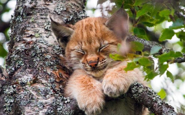 White Wolf : Cat Nap! Adorable Baby Lynx Takes A Nap – Halfway Up A Tree