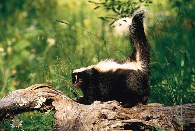 how to use mothballs to get rid of skunks