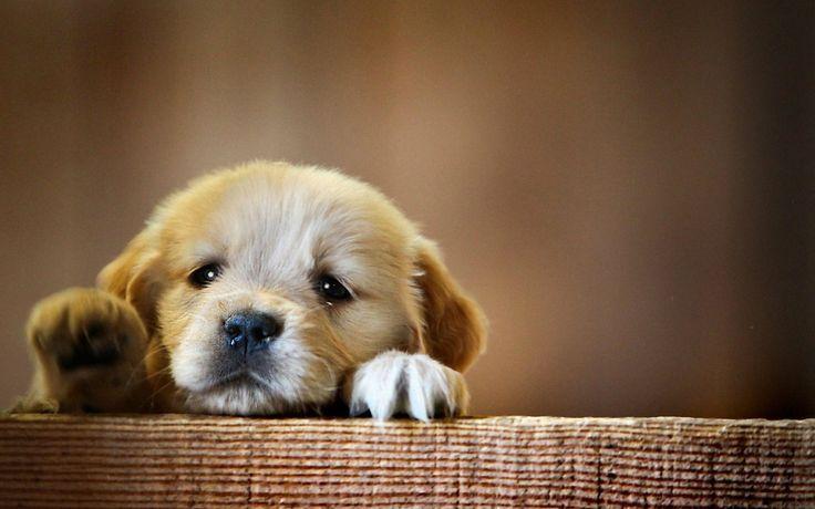 Cute Puppy Dog Desktop Wallpaper