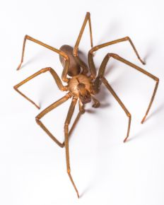 Brown recluse spiders are nocturnal and eat other small bugs like cockroaches and crickets. These spiders spin irregular webs, which are not used for catching prey but rather as a retreat.