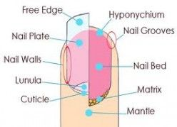 Nail anatomy. The Matrix the Mantle the Nail Bed the Nail Grooves the Free Edge the Smile Line the Nail Plate the Nail Walls the Lunula the Cuticle the Hyponychium the Peronychium and the Eponychium: