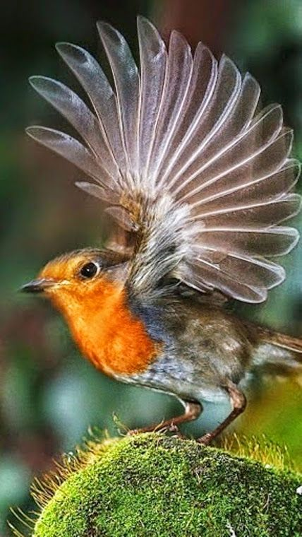 Beautiful Robin bird - Google+