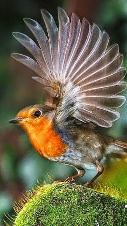 Beautiful Robin bird - Google+